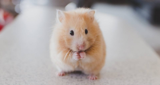 hamster ruso roedor habitual