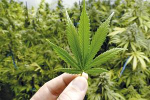 cuanto cuesta marihuana